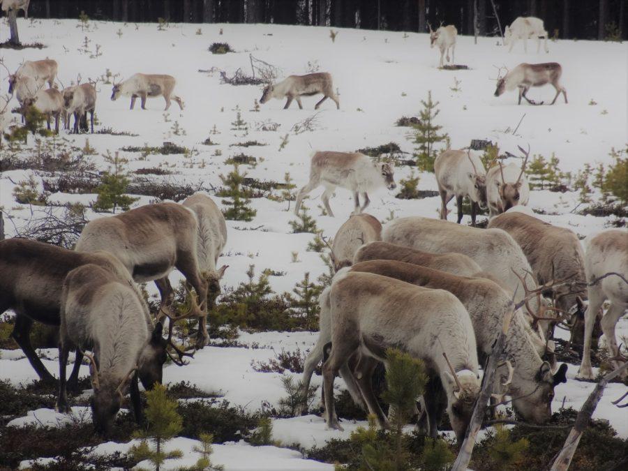 reindeers grazing lichen